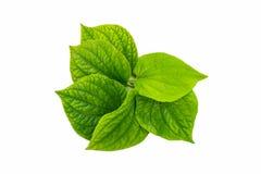 Wildbetal Leafbush (Piper sarmentosum Roxb.) Herbal and medicine Royalty Free Stock Photos