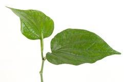 Wildbetal Leafbush (Piper sarmentosum Roxb.) Royalty Free Stock Images