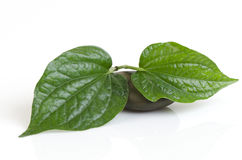 Wildbetal Leafbush (Piper sarmentosum Roxb.) Royalty Free Stock Photography