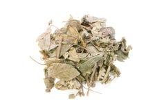 Wildbetal Leafbush, Piper sarmentosum Roxb Royalty Free Stock Photo