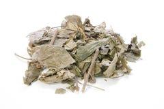 Wildbetal Leafbush, Piper sarmentosum Roxb Stock Photos
