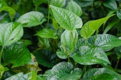 Wildbetal Leafbush van Piper Sarmentosum Roxb botanische naam voor Natuurlijke Backround royalty-vrije stock foto