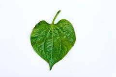 Wildbetal Leafbush Fotografia Stock