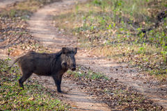 Wildboar crossing a forest road. Canon 6D 500mm ISO400 f6 1/3500 Royalty Free Stock Photos