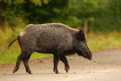 Wildboar crossing main road. During the late summer acorn fall Stock Image