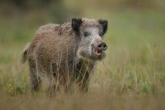 Free Wildboar Crossing Marsh Stock Photos - 60730273