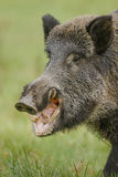 Wildboar eating fallen apples Royalty Free Stock Photos