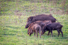 Wildboar family. Canon 6D 500mm ISO400 f6 1/3500 Stock Images
