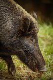 Wildboar. Foraging in the grass Stock Photos