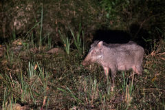 Wildboar in night safari Stock Photos