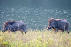 Wildboar pair in river bank Royalty Free Stock Photography