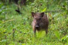 Wildboar piglet in forest Stock Photo