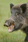 Wildboar que come maçãs caídas Fotos de Stock Royalty Free