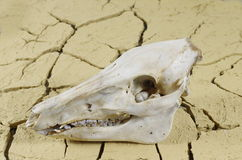 Wildboar's skull Royalty Free Stock Photos