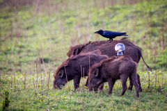 Wildboars with jungle crows. Canon 6D 500mm ISO400 f6 1/3500 Royalty Free Stock Images