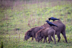 Wildboars with jungle crows sitting on them. Canon 6D 500mm ISO400 f6 1/3500 Stock Photography