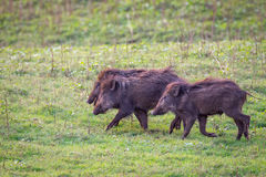 Wildboars piglets running Royalty Free Stock Image