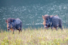 Wildboars in river bank Royalty Free Stock Images
