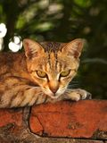 Wildcat. Tainan, Taiwan Wildcats Features Royalty Free Stock Photo