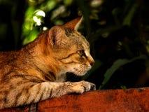 Wildcat. Tainan, Taiwan Wildcats Features Stock Photo