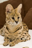 Wildcat Stock Image