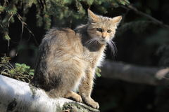 Wildcat Royalty Free Stock Images