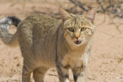 Wildcat Royalty Free Stock Photo