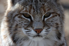 Wildcat. Close-up of a Bobcat in Ontario Royalty Free Stock Photo