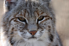 Wildcat Royalty Free Stock Photos