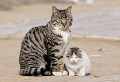 Wildcat. Mother cat and his lovely children royalty free stock images