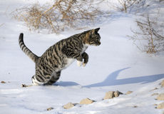 Wildcat. A jump in the snow on the Wildcats royalty free stock photo