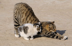 Wildcat. Stretch cat mother and his children royalty free stock images