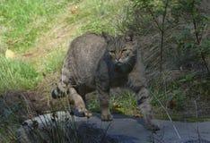 Wildcat, Alemanha Imagens de Stock