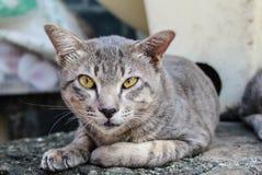 Wildcat bonito Imagem de Stock Royalty Free