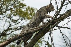 Wildcat climbing Royalty Free Stock Photos