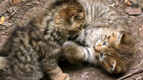 Wildcat cubs (Felis silvestris) play fighting stock video