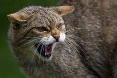 Wildcat escocês Imagens de Stock