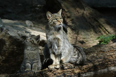 Wildcat europeu Imagem de Stock Royalty Free