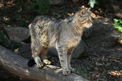 Wildcat europeu (silvestris dos silvestris do Felis) imagens de stock royalty free