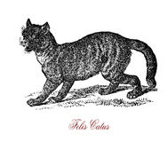 Wildcat Felis silvestris,vintage engraving. The wildcat Felis silvestris is a small cat native to most of Africa, Europe, and Southwest and Central Asia Royalty Free Stock Photo