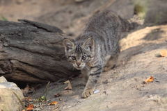 Wildcat juvenile Royalty Free Stock Photos