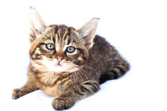 Wildcat Kitten Royalty Free Stock Photos
