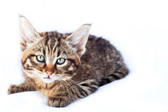 Wildcat Kitten Royalty Free Stock Images