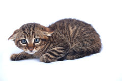 Wildcat Kitten Royalty Free Stock Image