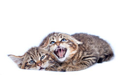 Wildcat Kittens Stock Image