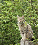 Wildcat in natural ambiance Stock Image