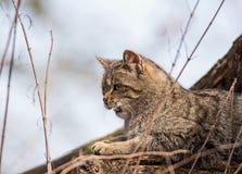 Wildcat Stock Images