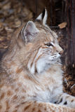 Wildcat profile. Profile portrait of a wild cat in a zoo environment Stock Photo