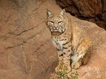 Wildcat que senta-se consideravelmente Foto de Stock
