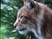 Wildcat. A rare species of big cat Royalty Free Stock Images